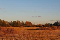 Jesień krajobraz Jesieni migracja pospolici żurawie południe obraz royalty free