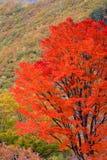 jesień krajobraz opuszczać czerwonego drzewa Obrazy Royalty Free