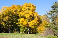 Jesień krajobraz z żółtymi drzewami 11 i niebieskim niebem 10 2018 obraz stock