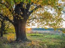 Jesień krajobraz z antycznym dębowym drzewem przy zmierzchem fotografia royalty free