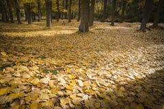 Jesień krajobraz z drzewami i spadać żółtymi liśćmi Fotografia Royalty Free