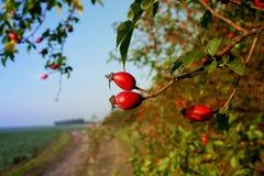 Jesień krajobraz z rosehip jagodami na tle śródpolna droga Zdjęcia Stock