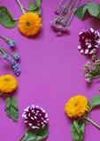 Jesień kwiatów sezonowy mieszkanie kłaść na purpurowym tle zdjęcia royalty free