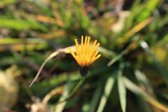 Jesień kwiatu makro- żółty plakat Fotografia Stock
