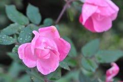 Jesień kwiaty po zimno deszczu obrazy stock