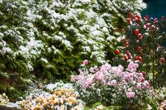 Jesień kwitnie pod wczesnym śniegiem pierzeja w zimie obrazy stock