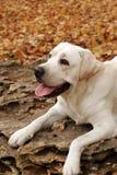 jesień labradorów parkowy kolor żółty Obraz Royalty Free