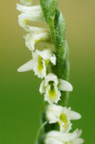 Jesień Lady& x27; s warkoczy kwiatu storczykowy szczegół - Spiranthes spiralis Zdjęcia Stock