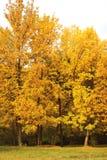 Jesień las, żółci drzewa Zdjęcia Royalty Free