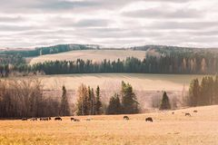 Jesień las i chodzący konie w polu Zdjęcie Royalty Free