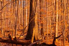 Jesień las przy zmierzchem obrazy royalty free