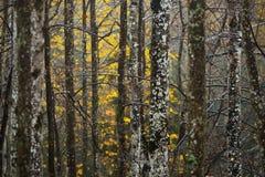 Jesień las w dżdżystej pogodzie w Sigulda, Latvia Zdjęcia Stock