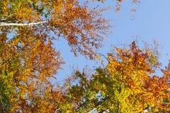 Jesień las w południowym Poland przeciw niebieskiemu niebu obraz royalty free