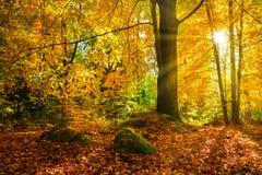 Jesień las z słońce promieniami przez drzew obrazy stock