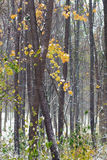 Jesień las zakrywający z śniegiem Obrazy Stock
