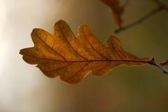 Jesień liść dąb Zdjęcia Stock