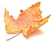 jesień liść klon Obraz Royalty Free