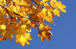 Jesień liść klonowy Fotografia Royalty Free