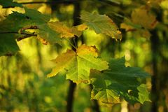 jesień liść klonowy drzewo Fotografia Stock