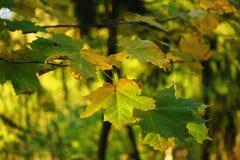 jesień liść klonowy drzewo Obraz Royalty Free
