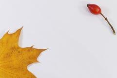 Jesień liść klonowy i dziki biodro na białym backgound Obraz Stock