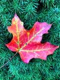 Jesień liść klonowy na Wiecznozielonym Obraz Royalty Free