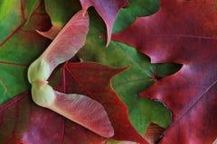 jesień liść klonowy samara drzewo obraz royalty free