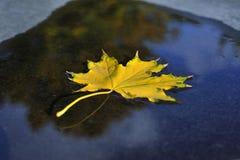 Jesień liść klonowy spadał w wodę Obraz Royalty Free