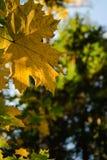 Jesień liść klonowy z zamazanym widokiem stary świerkowy drzewo w tle fotografia stock