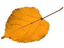 jesień liść linden kolor żółty Fotografia Royalty Free