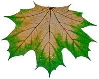 Jesień liść odizolowywający na białym tle obraz stock
