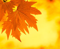 Jesień liść, płytka ostrość Zdjęcie Royalty Free