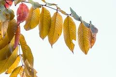 Jesień liści Akcyjny wizerunek Obrazy Royalty Free
