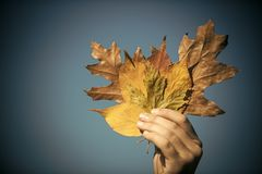 jesień liści bukiet w męskiej ręce obrazy royalty free