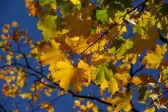 Jesień liści colour blask Obraz Royalty Free