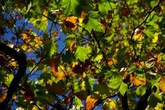 Jesień liści colour blask Obraz Stock