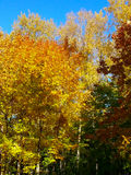 Jesień liści klonowych niebieskiego nieba kolor żółty 2 Zdjęcie Stock