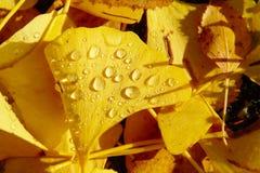 Jesień liści rosy krople Zdjęcia Royalty Free