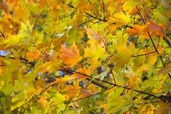 Jesień liści tło Obrazy Royalty Free
