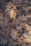 Jesień liści tło Spadać dąb opuszcza teksturę i tło dla projekta Susi dębów liście na ziemi Fotografia Stock