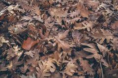 Jesień liści tło Spadać dąb opuszcza teksturę i tło dla projekta Susi dębów liście na ziemi Zdjęcie Stock