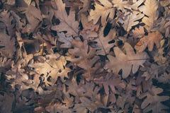 Jesień liści tło Spadać dąb opuszcza teksturę i tło dla projekta Susi dębów liście na ziemi Zdjęcia Royalty Free