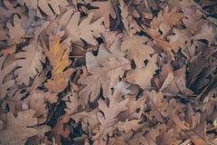 Jesień liści tło Spadać dąb opuszcza teksturę i tło dla projekta Susi dębów liście na ziemi Obrazy Royalty Free