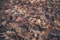 Jesień liści tło Spadać dąb opuszcza teksturę i tło dla projekta Susi dębów liście na ziemi Zdjęcie Royalty Free