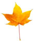 Jesień liścia klon odizolowywający Obrazy Royalty Free