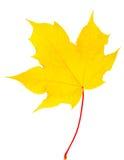 Jesień liścia klon odizolowywający Fotografia Royalty Free