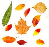 Jesień liścia klonu odosobniona kolekcja Zdjęcie Stock
