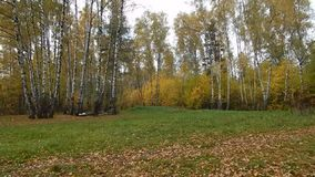 Jesień liścia spadek w brzoza gaju zbiory