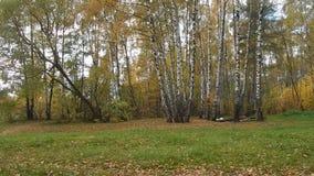 Jesień liścia spadek w brzoza gaju zbiory wideo