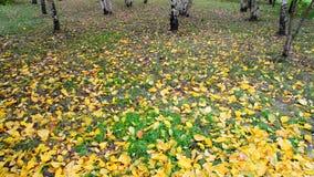 Jesień liścia spadek w brzoza gaju, Rosja zbiory wideo